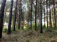 Venda de Pinus