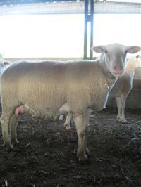 Ovelhas e Cordeiras Texel / Lacaune