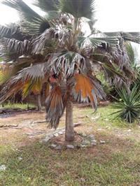 Palmeira Leque Adulta