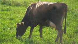 Vendo vacas Jersey em produção