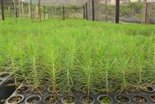 Mudas de Pinus e Eucalipto há 30 Km deCuritiba, em Mandirituba-PR