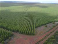 Plantio eucalipto reflorestamento florestal madeira lenha cavaco tres lagoas ms
