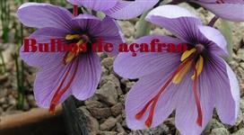 Bulbos brotando de açafrão verdadeiro (Crocus sativus)