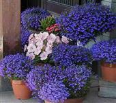 500 Sementes Flores Lobelia Azul Para Jardim Vaso E Outros