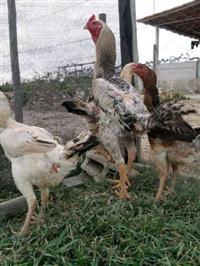 galinhas índio gigante
