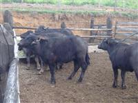 Novilhas búfala raça Murrah