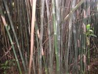 Bambu Virgem
