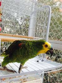 papagaio - f�mea
