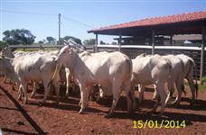 Novilhas, vacas e tourinhos nelore P.O registrados