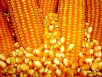 milho para todo brasil