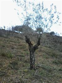 Vendo oliveiras