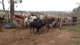 Vendo 100 cabeças de gado