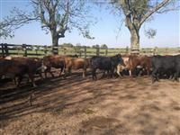 Vacas prenhas cruzas europeias