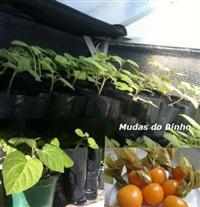 Physalis Mudas De Physalis De Alta Qualidade Para Plantar