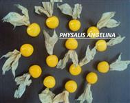 Physalis Fruta Physalis de alta qualidade direto do produtor Golden berry
