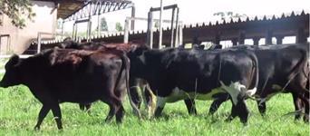 15 novilhas prenhez de 5 a 7 meses por inseminação artificial do touro Kevin e Triangle