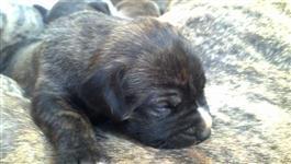 Vendo Filhotes de Bullmastiff Brasileiro. Com Pedigree