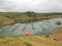 Tilapias vivas e abatidas de tanque rede em Paraibuna-SP (130 km de São Paulo)