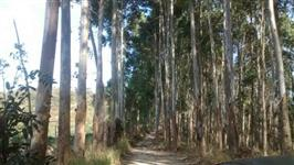 30mil pés Eucalipto Branco 6,5 anos Sul de Minas