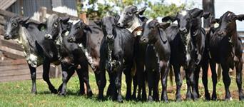 Qualidade nas raças leiteiras você encontra aqui: Vacas, novilhas e bezerras