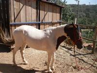 Cavalo Mangalarga marchador de grande porte e domado