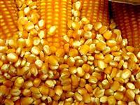 Temos milho safra 2014