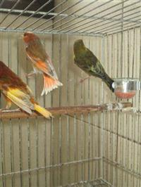 Pintagois de tarim, diversas cores