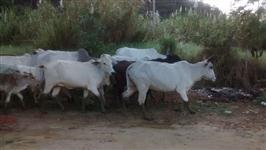 Lote de gado