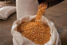 Milho safrinha 2014 tipo exportação
