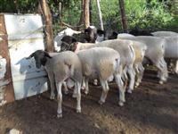 Venda de ovinos Dorper na em Patos - PB