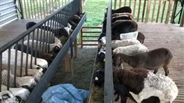 ovinos a venda