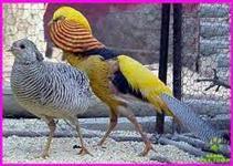 Faisao - Ovos e aves - Só trabalhamos com Faisões