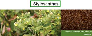 Stylosanthes
