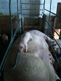 Baia Maternidade Suspensa para suínos