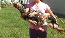 Ovos galados de Codorna Chinesa (a menor codorna do mundo) e aves!