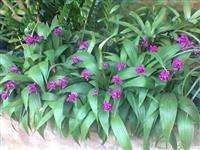 sphatoglottis plicata