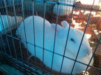 Venda de coelhos para matriz