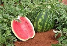 melancia à venda
