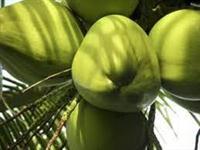 COCO-DA-BAHIA