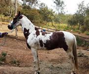Vendo Cavalo Mangalarga Pampa de Alazão