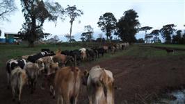 Venda de vacas Jersey em produção