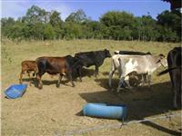 Vendo 70 cabeças de gado, raça Nelore