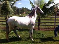 Cavalo mangalarga marchador, marcha batida, 7 anos, região Arcos/Formiga-MG