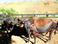 Vacas Leiteiras e Novilhas