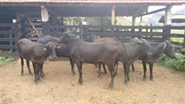Vacas Leiteiras e Novilhas (GIROLANDO, JERSEY, HOLAND�S)