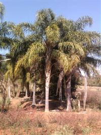 Palmeira Gerivá ou coqueiro-jerivá ou mucuri