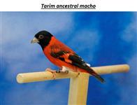 Tarin, Pintassilgo da Venezuela ( Carduelis Cucullata )