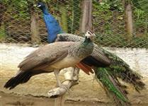Vendo pavão azul, pavoa.