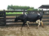 Vacas leiteiras de excelente genética