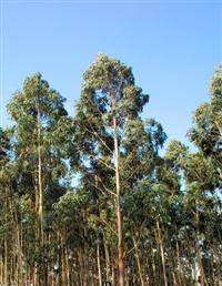 Vendo 8.000 pés de eucalipto Grandis de quase 9 anos, em pé